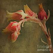 Echervia Blossom Poster by Pam Vick