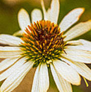 Echinacea Fading Beauty Poster