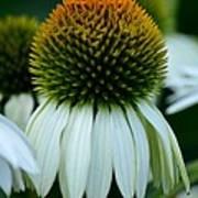 Echinacea Gold II Poster