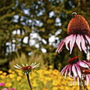 Echinacea With Bee Poster
