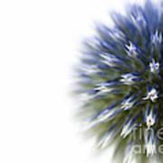 Echinops  Poster