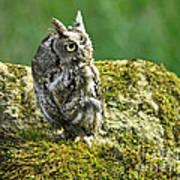 Echo Of An Eastern Screech Owl  Poster