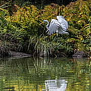 Egret At The Lake Poster