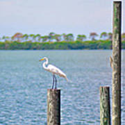 Egret In Dunedin Florida Poster