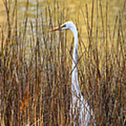 Egret In The Grass Poster