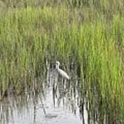 Egret In The Marsh Poster
