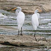Egrets 4649 Poster