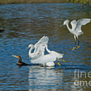 Egrets Robbing A Cormorant Poster