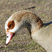 Egyptian Goose Profile Poster