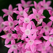 Egyptian Star Flowers Or Penta Poster