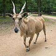 Eland Antelope Out In The Open Poster