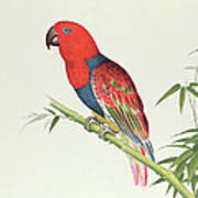 Electus Parrot On A Bamboo Shoot Poster