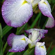 Elegant Purple Iris Poster