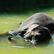 Elephant Bath Poster