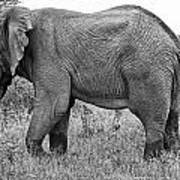 Elephant Bull In Black And White Poster