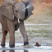 Elephant Calf Spraying Water Poster