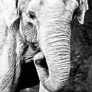 Elephant IIi Poster
