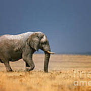 Elephant in grassfield Poster