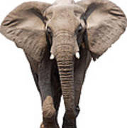 Elephant Isolated Poster