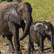Elephant Mom And Baby Poster