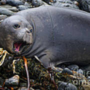 Elephant Seal Of Ano Nuevo State Reserve Poster