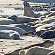 Elephant Seals At Ano Nuevo State Park California Poster by Natural Focal Point Photography
