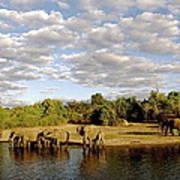 Elephants In Chobe Poster