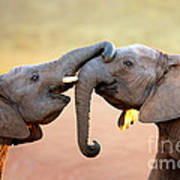 Elephants Touching Each Other Poster