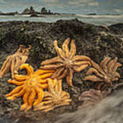 Eleven-armed Sea Stars At Low Tide Poster