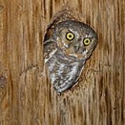 Elf Owl Poster