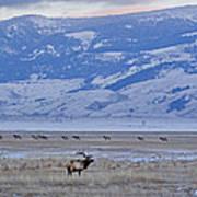 Elk At Dusk Poster