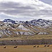 Elk At Sheep Mountain - 21x120 Poster