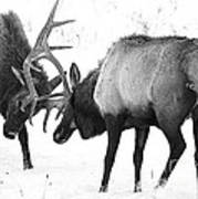 Elk Fighting Black And White Poster