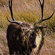 Elk Hairdo Poster