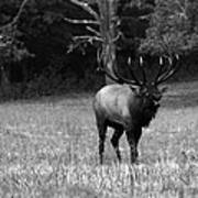 Elk In Black And White Poster