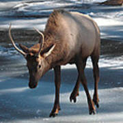 Elk On Ice Poster
