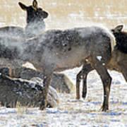 Elk Shaking Off Snow   #0530 Poster