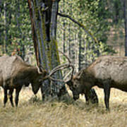 Elks Sparring Yellowstone Np Wyoming Poster