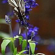 Elusive Zebra Swallowtail Poster
