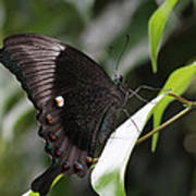 Emerald Peacock Swallowtail Butterfly #6 Poster