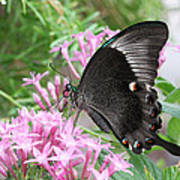 Emerald Peacock Swallowtail Butterfly #5 Poster