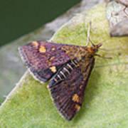 Emperor Moth Poster