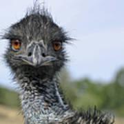 Emu Gaze Poster