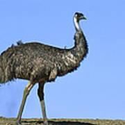Emu Portrait Sturt National Park Poster