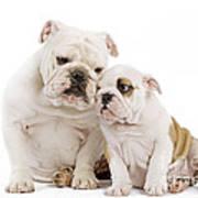 English Bulldog, Adult And Puppy Poster