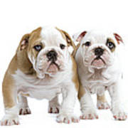 English Bulldog Puppies Poster