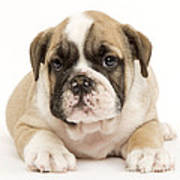 English Bulldog Puppy Poster