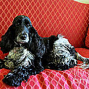 English Cocker Spaniel On Red Sofa Poster by Catherine Sherman