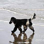 English Cocker Spaniel On The Beach Poster