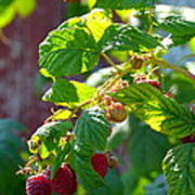 English Raspberries Poster